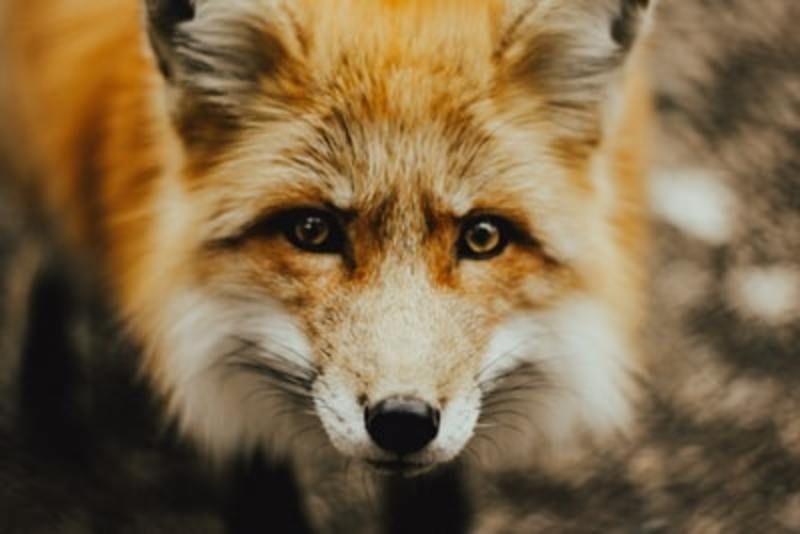 お天気雨はなぜ【狐の嫁入り】と言われるの?その正体・意味とは